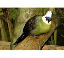 White-Crested Turaco ~ a Green Bird Photographic Print