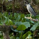 Black-Crowned Night-Heron by JimSanders