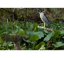 Black-Crowned Night-Heron Photographic Print