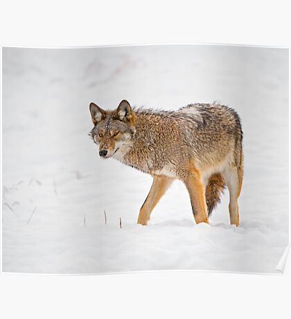 Weary Coyote Poster