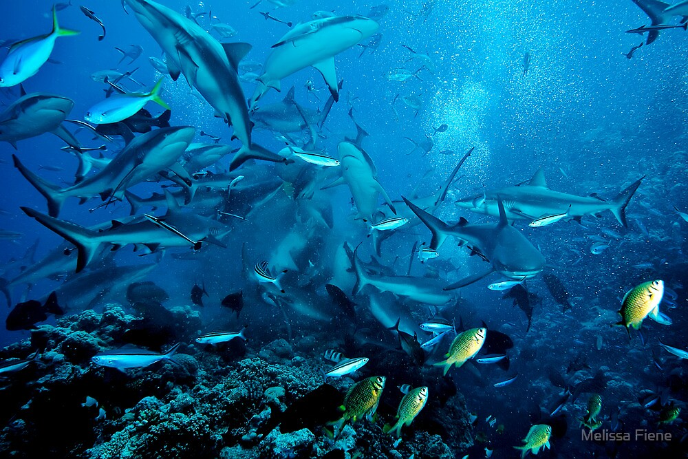 Shark Feed at North Horn, Coral Sea by Melissa Fiene
