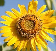 macro shot of sunflower by rajeshbac