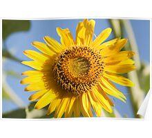 macro shot of sunflower Poster