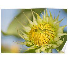 Macro shot of Sunflower bud Poster