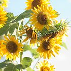 sunflowers in full bloom. by rajeshbac