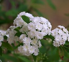 Bridal Wreath by Penny Odom