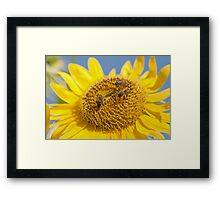 macro shot of sunflower(Helianthus annuus) Framed Print