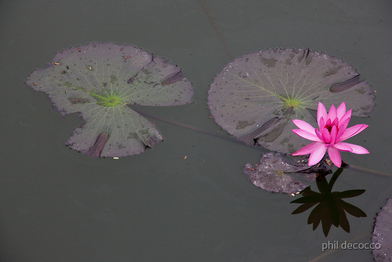 Lonely Lotus by phil decocco
