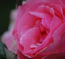 Moody Pink Rose by Lozzar Flowers & Art