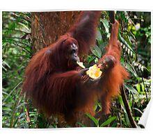 Orangutans - Borneo Poster