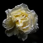 Yellow Rose with background by Guilherme Milner