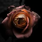 Orange Rose with background by Guilherme Milner