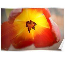 Sunlight tulip Poster