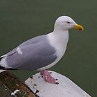 Gull by 7horses
