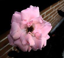 Macro - Pink Azalea by Guilherme Milner