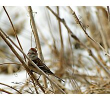 Song Sparrow Near Creek in March Photographic Print