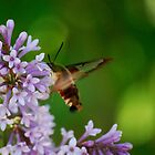 Hummingbird Moth on the Lilacs by Diane Blastorah