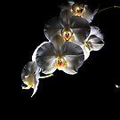 Phalaenopsis by David  Howarth