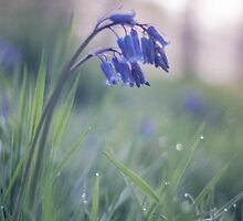 Bluebells Rising  by imagejournal