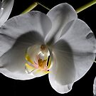 Phalaenopsis 2 by David  Howarth