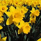 Daffodil Festival - Rydal, New South Wales by Marilyn Harris
