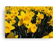 Daffodil Festival - Rydal, New South Wales Canvas Print