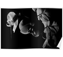 Phalaenopsis B/W Poster