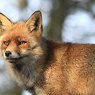 Red Fox - 847 by DutchLumix