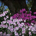Backyard Azalea Bushes by mimsjodi
