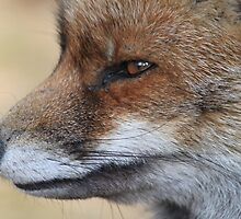 Close-Up from a Red Fox  by DutchLumix