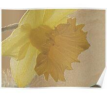Golden Daffodil Poster