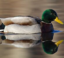 Mallard drake by bettywiley