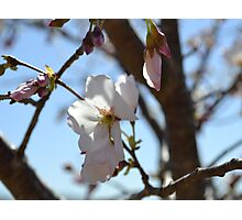 Baby Pink Cherry Blossoms Photographic Print