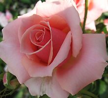 Passionate Peach Rose by MarianBendeth