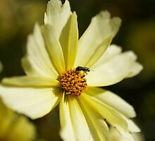 Pollen Collection Golden Daisy  by lateeky
