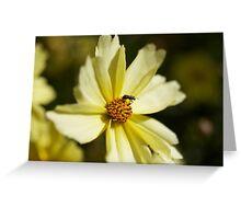 Pollen Collection Golden Daisy  Greeting Card