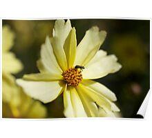 Pollen Collection Golden Daisy  Poster
