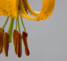 Tiger Lily by OrPhotoJohn