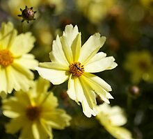 Golden Daisy Collection by lateeky