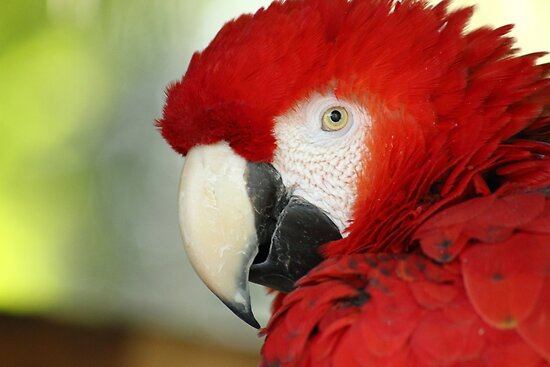 { scarlet macaw } by Brooke Reynolds