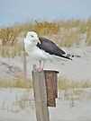 Great Black-Backed Gull (Larus marinus) by MotherNature