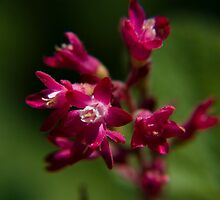 Red Flowering Currant Blossom by OrPhotoJohn