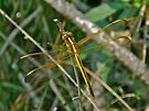 Golden Dragonfly - Anisoptera by MotherNature