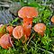 Tiny Orange Mushrooms in Moss by MotherNature