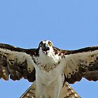Osprey up close,personal and in flight by jozi1