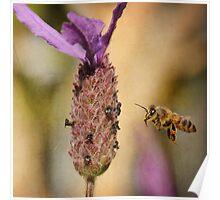 Lavender Bee-port Poster