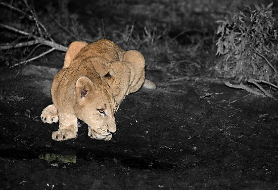 Lioness Drinking by Michael  Moss