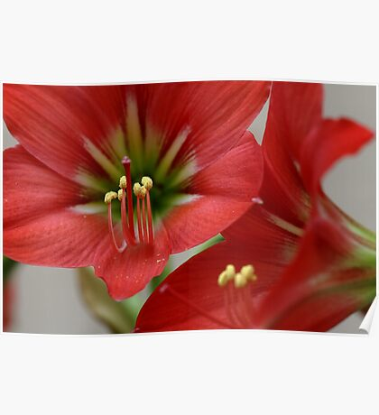 Floral Lilly  Poster