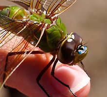 Dragonfly on finger by the57man