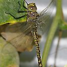 The dragon fly by janfoster